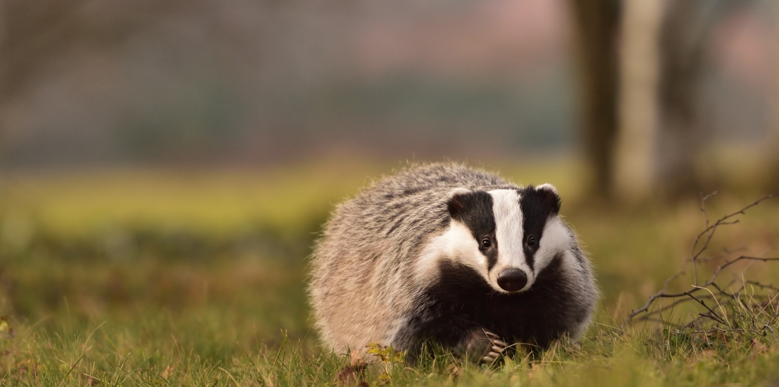 Tentative Victory for Common Sense as British Government Announces Plan to Curtail Badger Culling 1