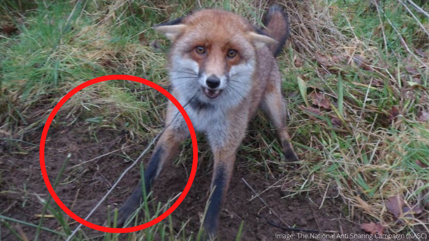 There are ALTERNATIVES to snaring that will protect animals! Please be generous. Help us STOP the CRUELTY! 1