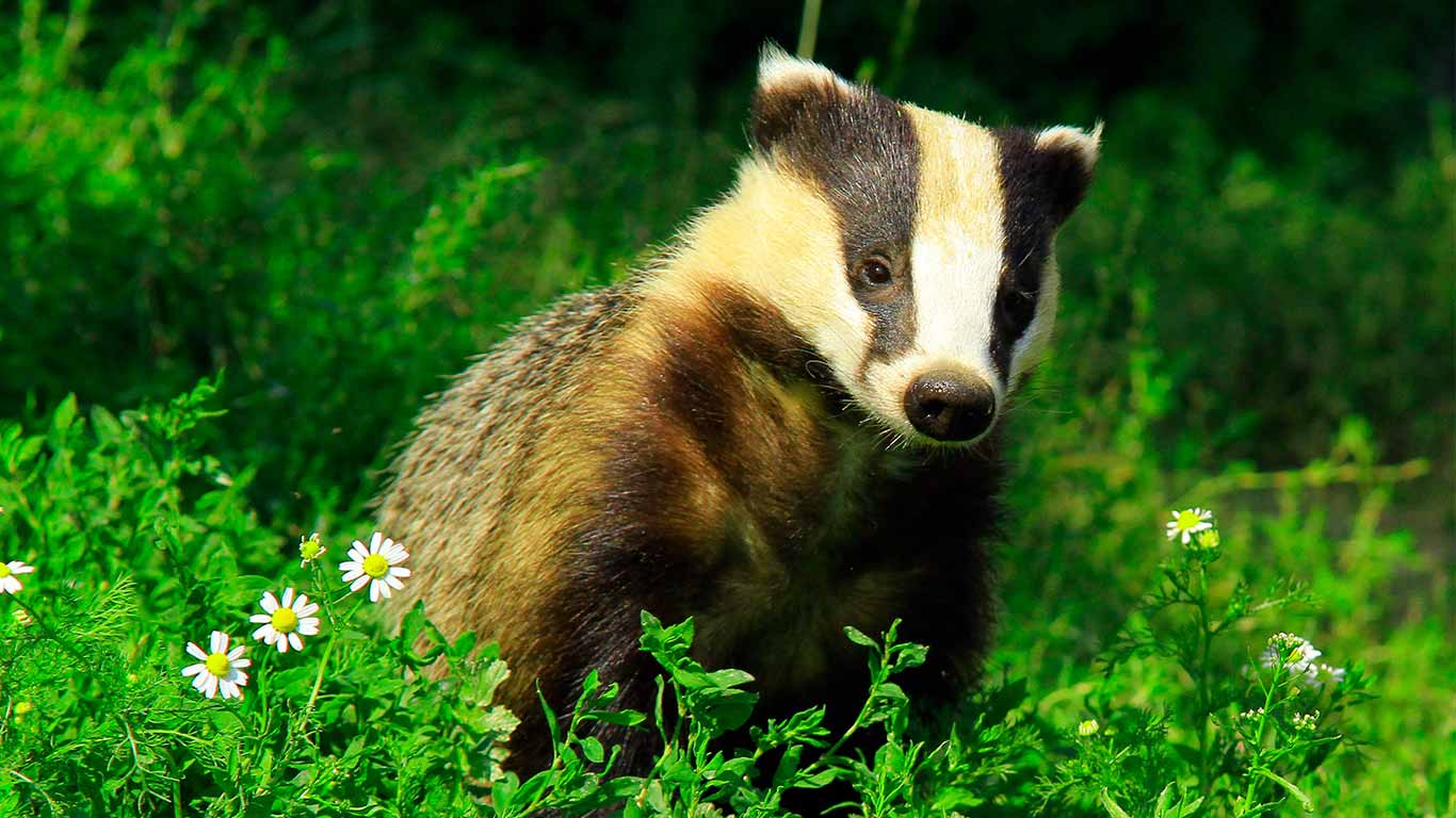 Badgers are still being SENSELESSLY MURDERED by the thousands for absolutely NO PURPOSE! 3