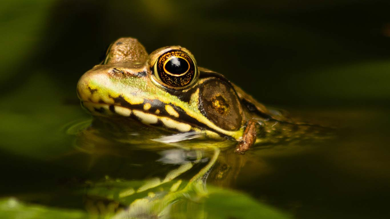 EATEN TO EXTINCTION! Millions of frogs are being tortured, maimed and killed - for the dinner table! 3