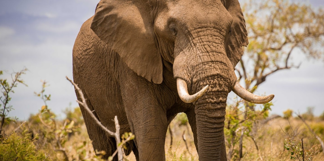 Botswana to charge £1,500 ($1,834) for a licence to kill elephants 1