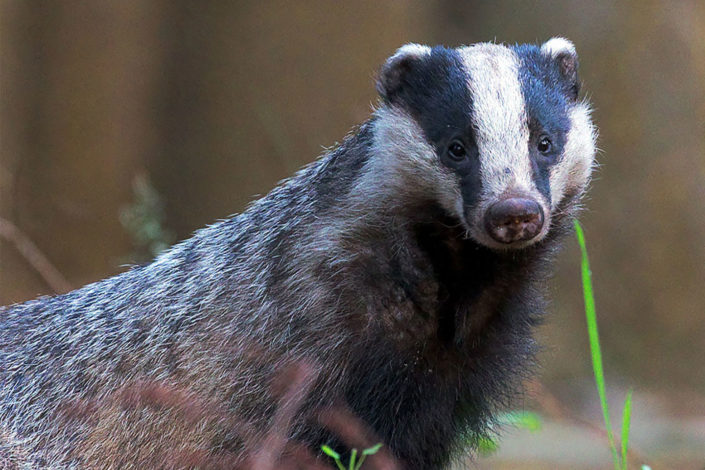 UK expands the kill zone for badgers