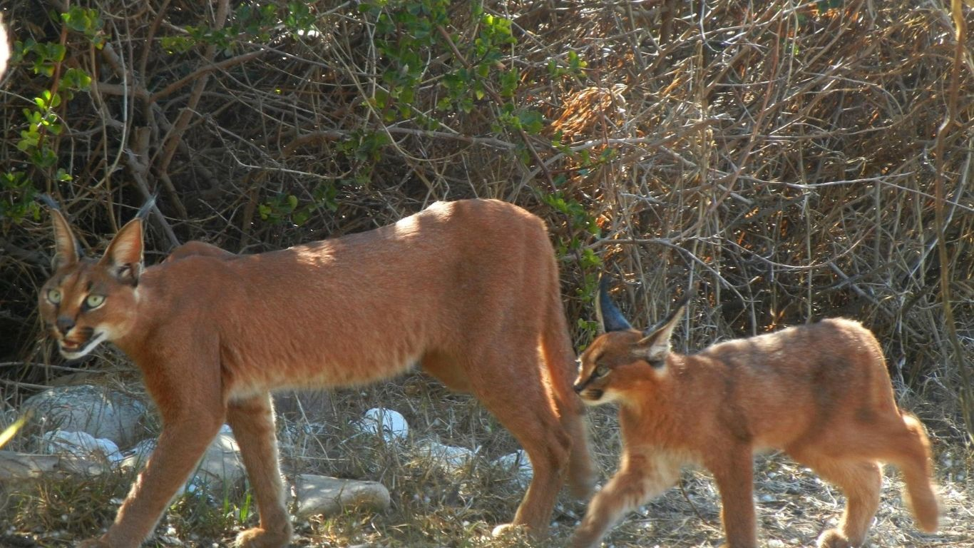 TIME IS OF THE ESSENCE! Devastating FIRE threatens survival of last 50 or 60 remaining Cape Town caracals! 2
