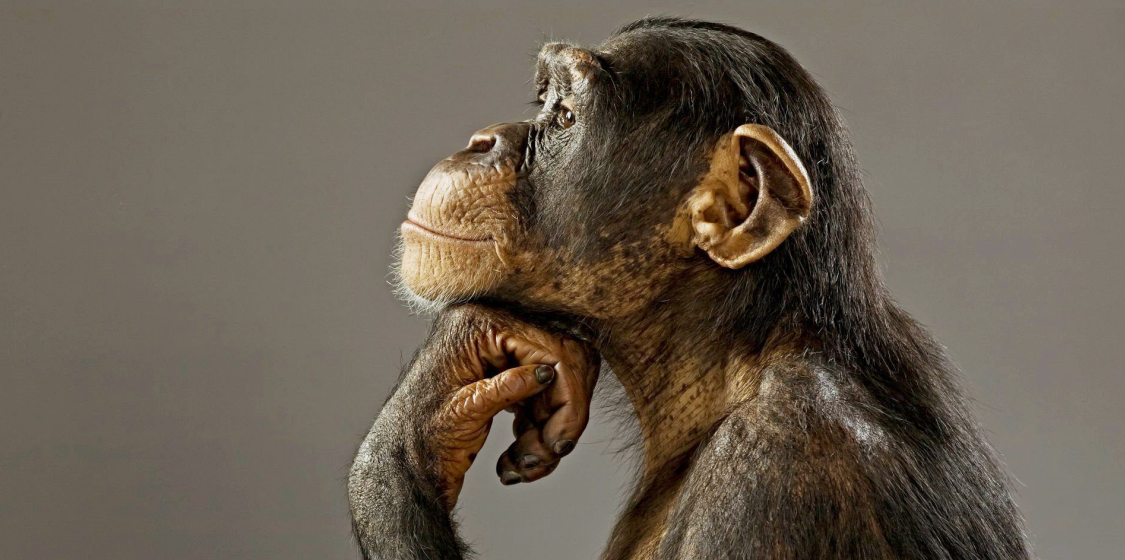 Chimpanzees: We are betraying these kindred spirits 1