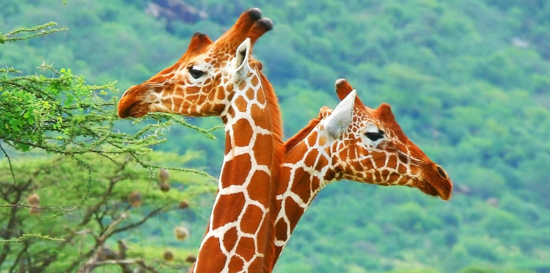 Giraffes trade to be regulated across the world 1