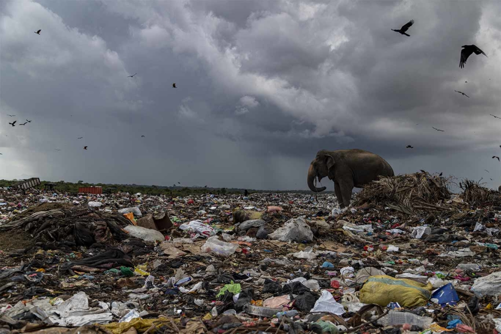 Sri Lankan Elephants Die After Eating Plastic From Rubbish Dumps 5
