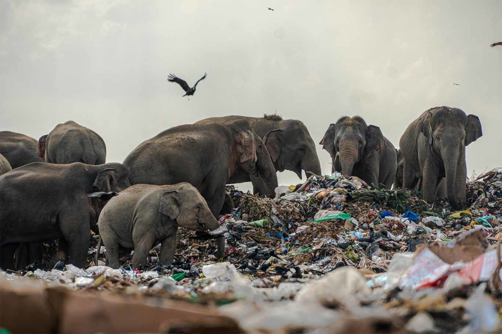 Sri Lankan Elephants Die After Eating Plastic From Rubbish Dumps 6
