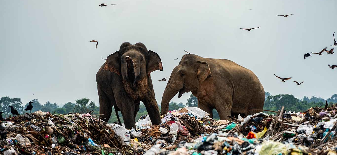 Sri Lankan Elephants Die After Eating Plastic From Rubbish Dumps 9