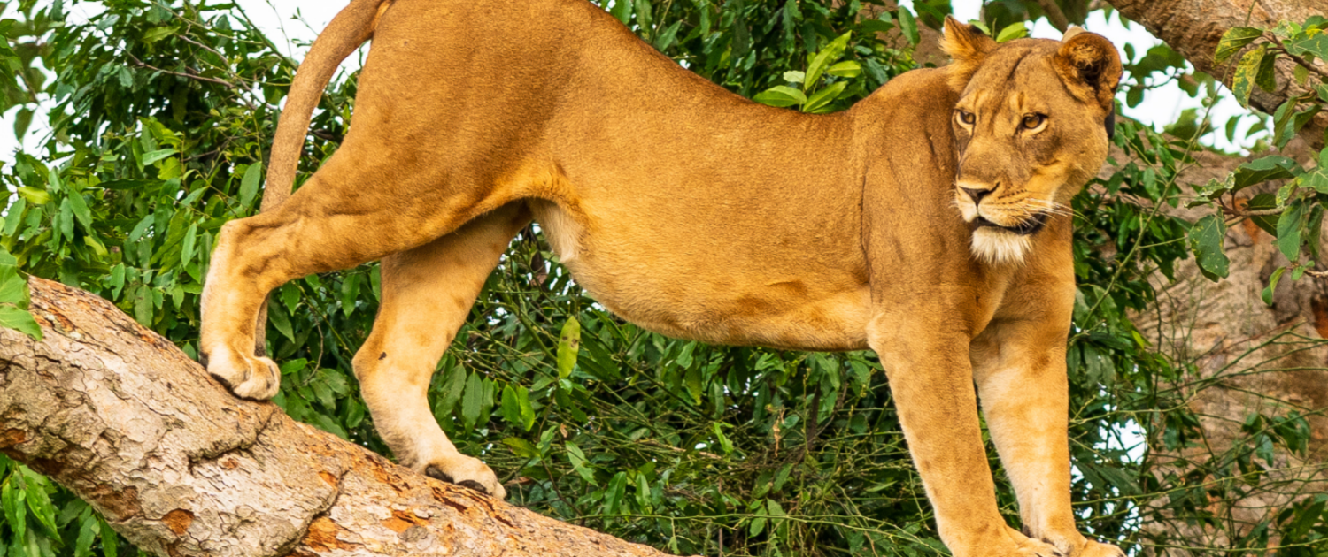 Rare Tree-Climbing Lions Under Threat In Famous Ugandan Park 1