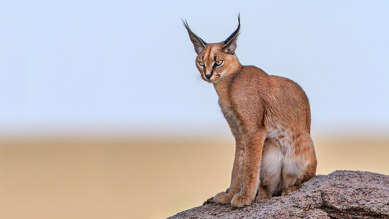 The last of Cape Town's exquisite caracal cats are becoming ROADKILL! 2