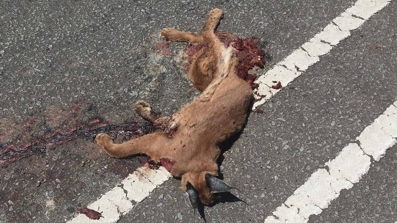 The last of Cape Town's exquisite caracal cats are becoming ROADKILL! 1