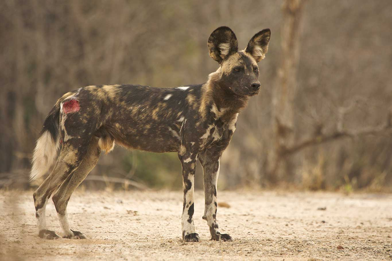 Beautiful Painted Dogs In Grave Danger! 4