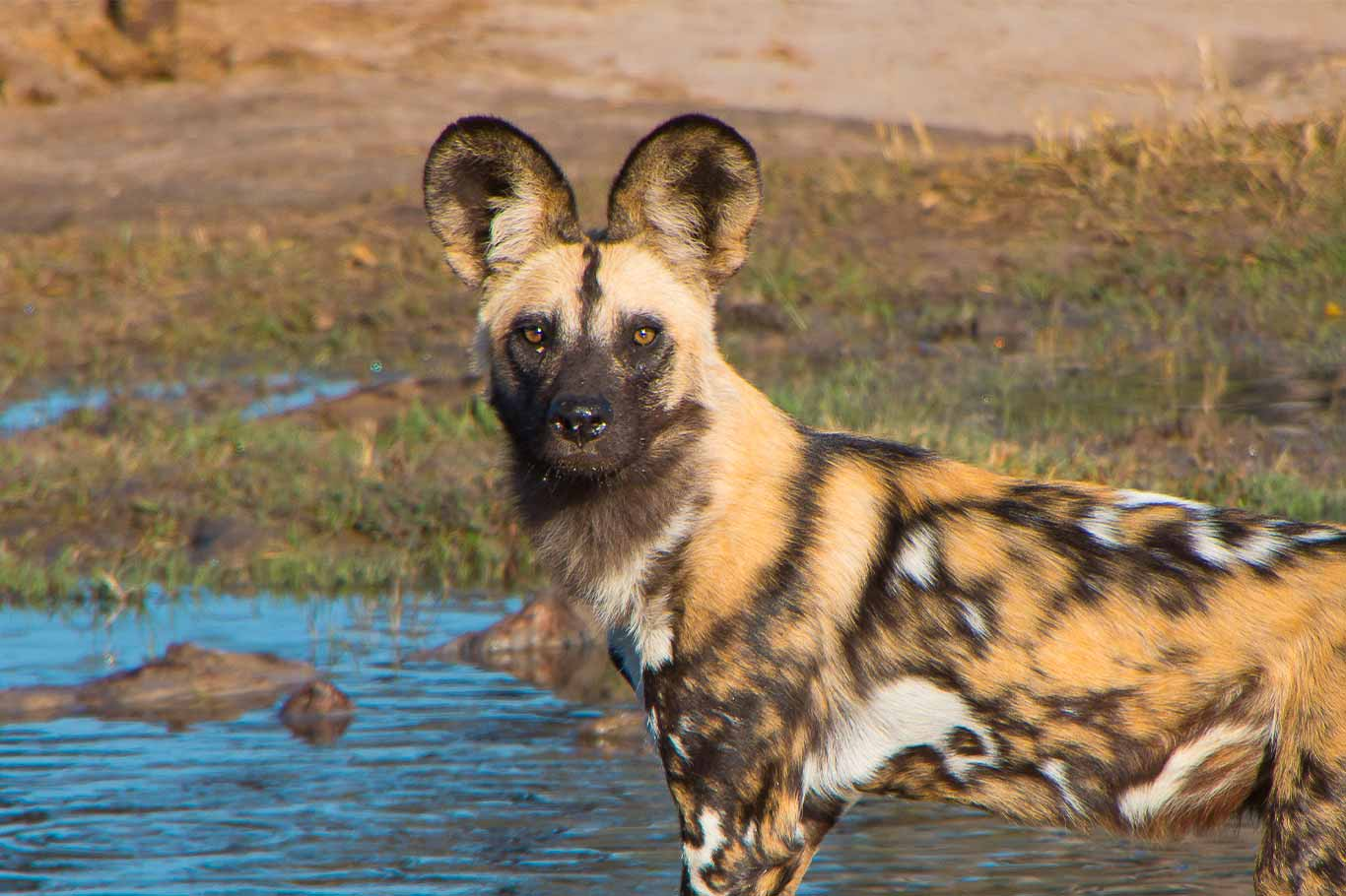 Beautiful Painted Dogs In Grave Danger! 3