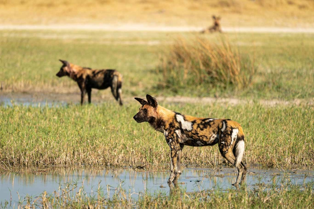 Beautiful Painted Dogs In Grave Danger! 6