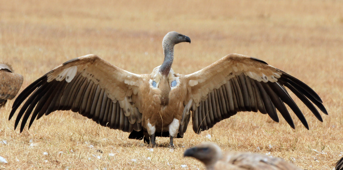 Hunters should stop using lead bullets and help save the vultures 1