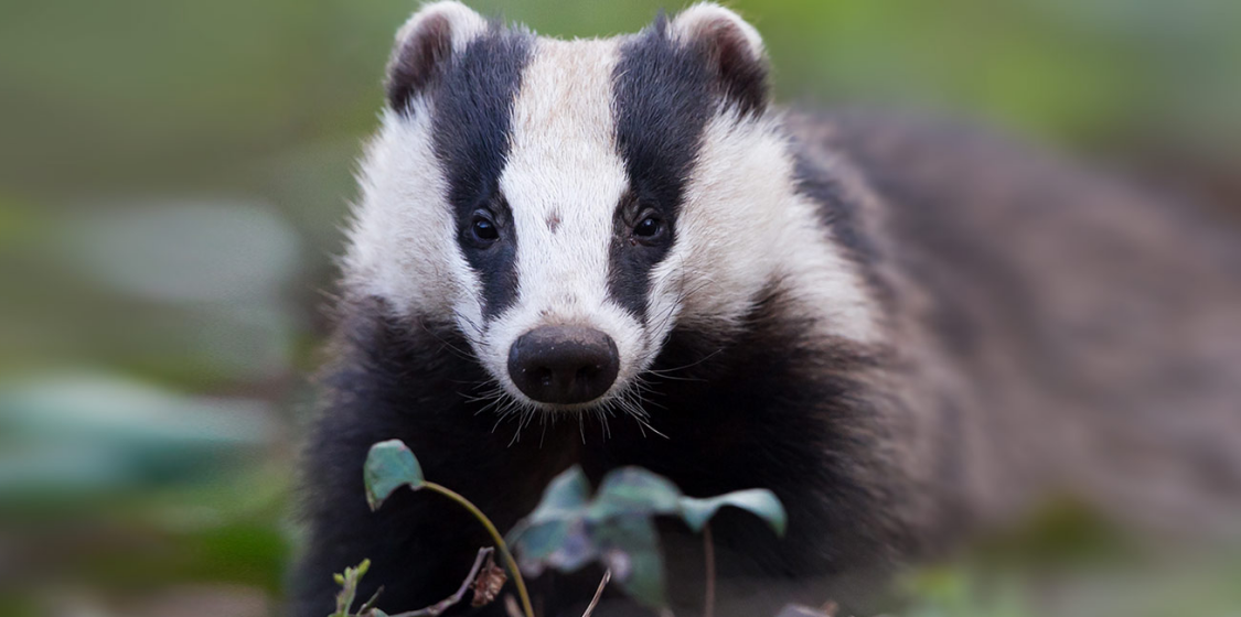 "Oxford residents to say ""no"" to the badger cull 1"