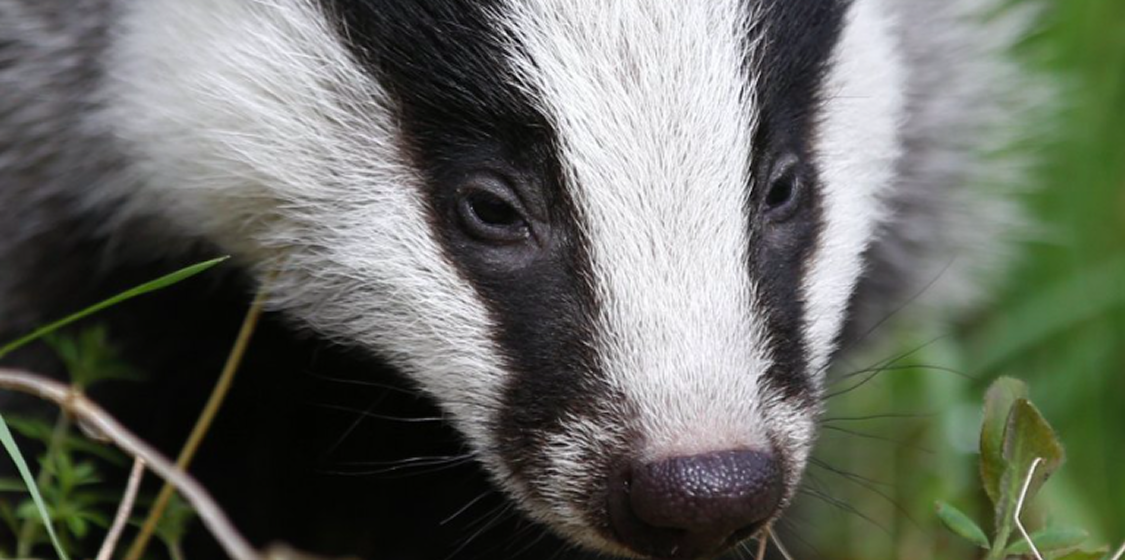 Badger blood bath continues as UK government reviews its policies 1