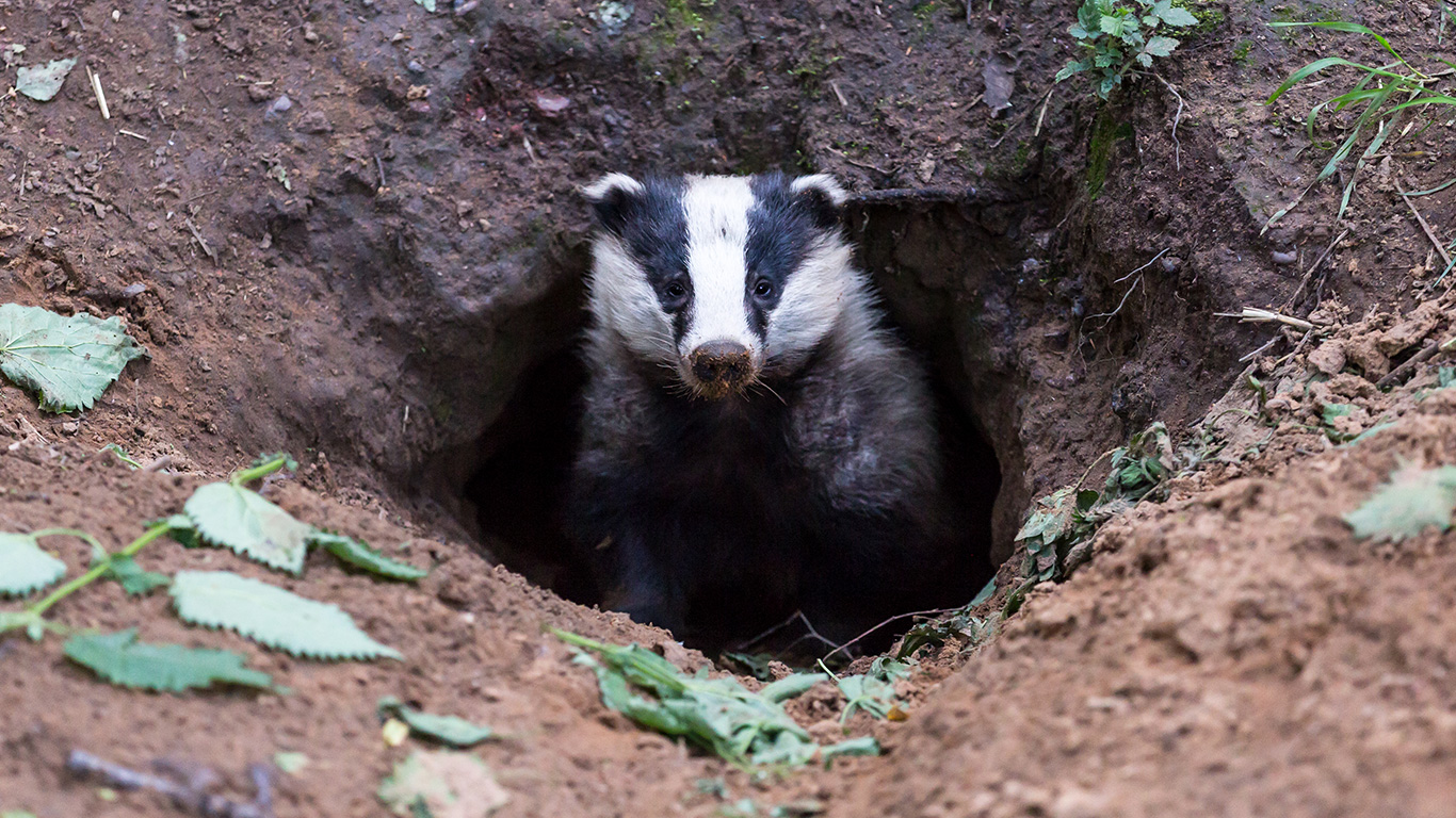 Badgers being murdered in cold blood! Their only hope is that you speak up before it's too late! 3