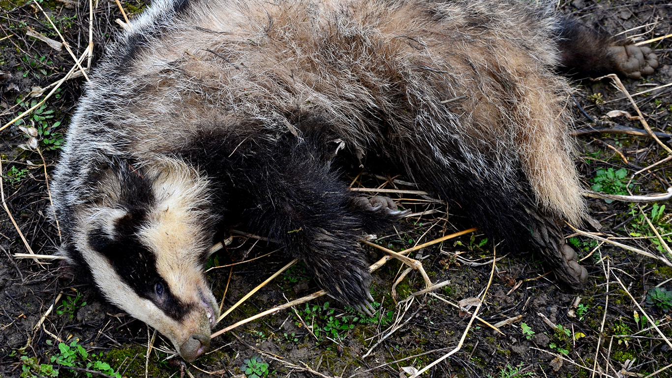 Badgers being murdered in cold blood! Their only hope is that you speak up before it's too late! 1
