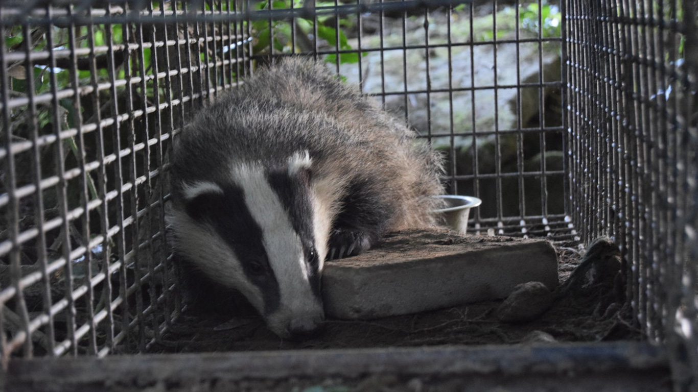 Badgers being murdered in cold blood! Their only hope is that you speak up before it's too late! 2