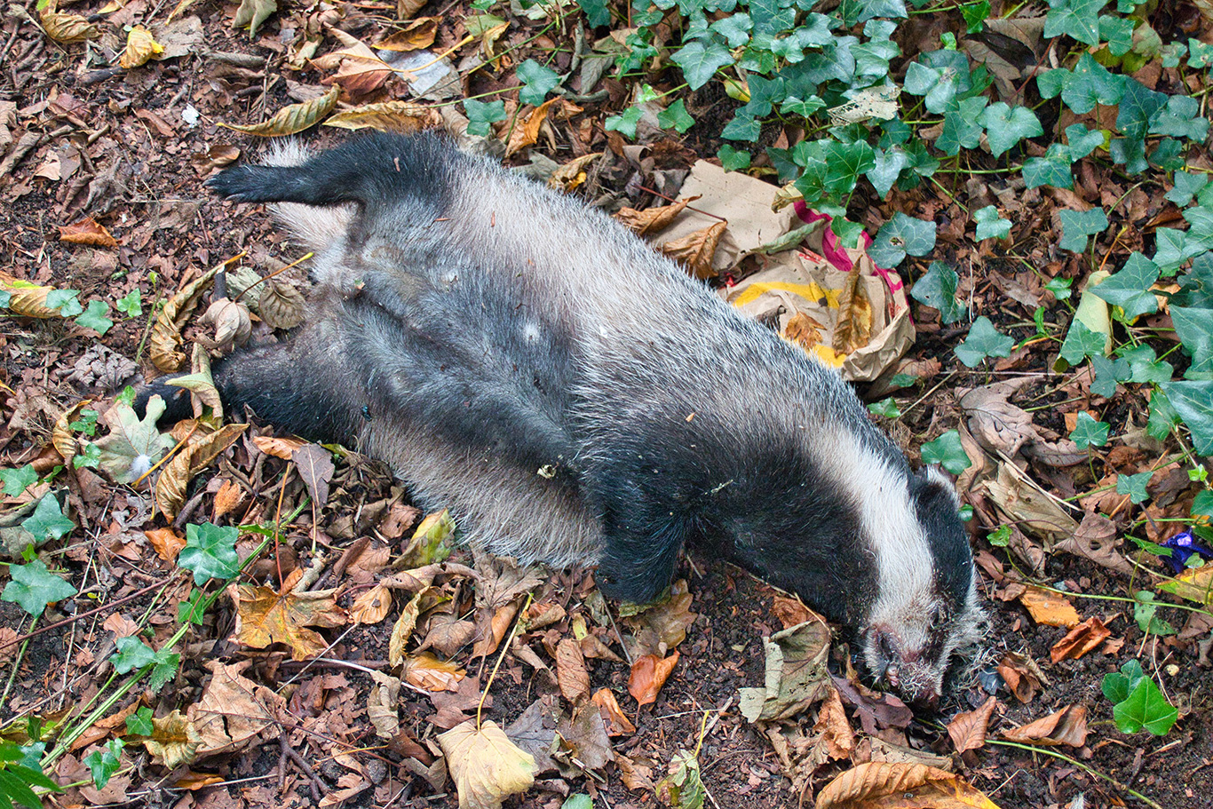 UK GOVERNMENT HID STUDIES CRITICAL OF BADGER CULLING! 2