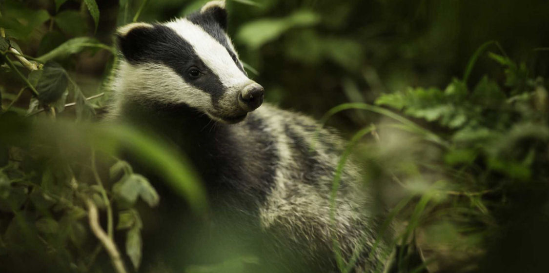 Legal challenge to the controversial badger cull 1