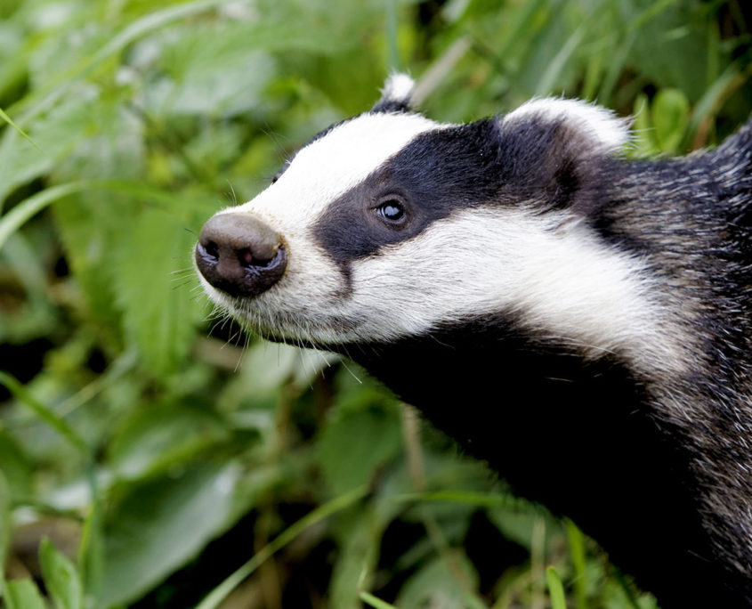 Badger killings