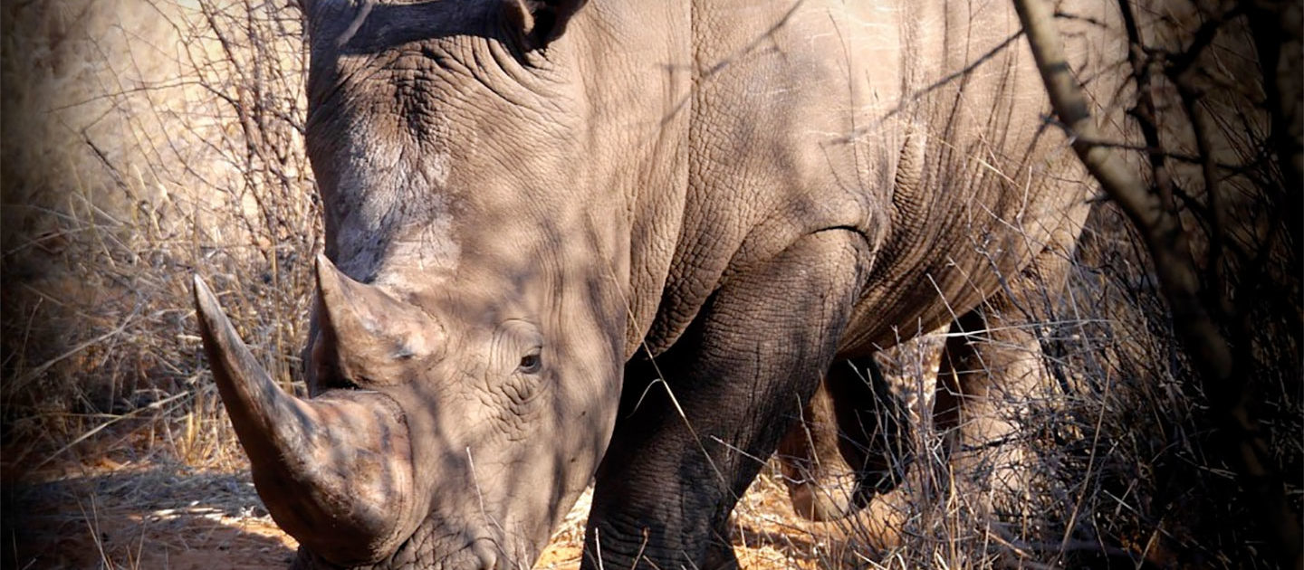 More than 500 South African rhinos were killed for their horns in the first six months of 2017 1