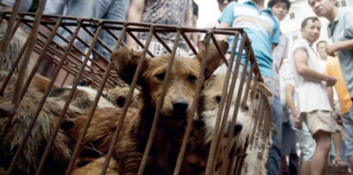 Yulin is the evil headquarters of China's animal cruelty 1