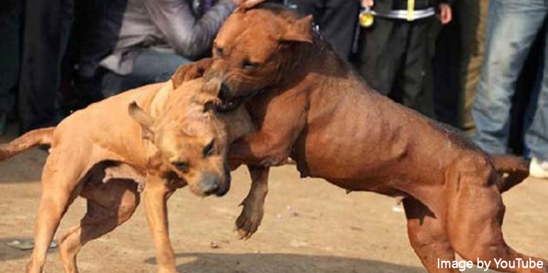 Dog fighting in the UK reaches epic proportions 1