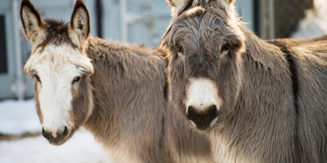 Australia seeks to stop the trade in donkeys before it starts 1