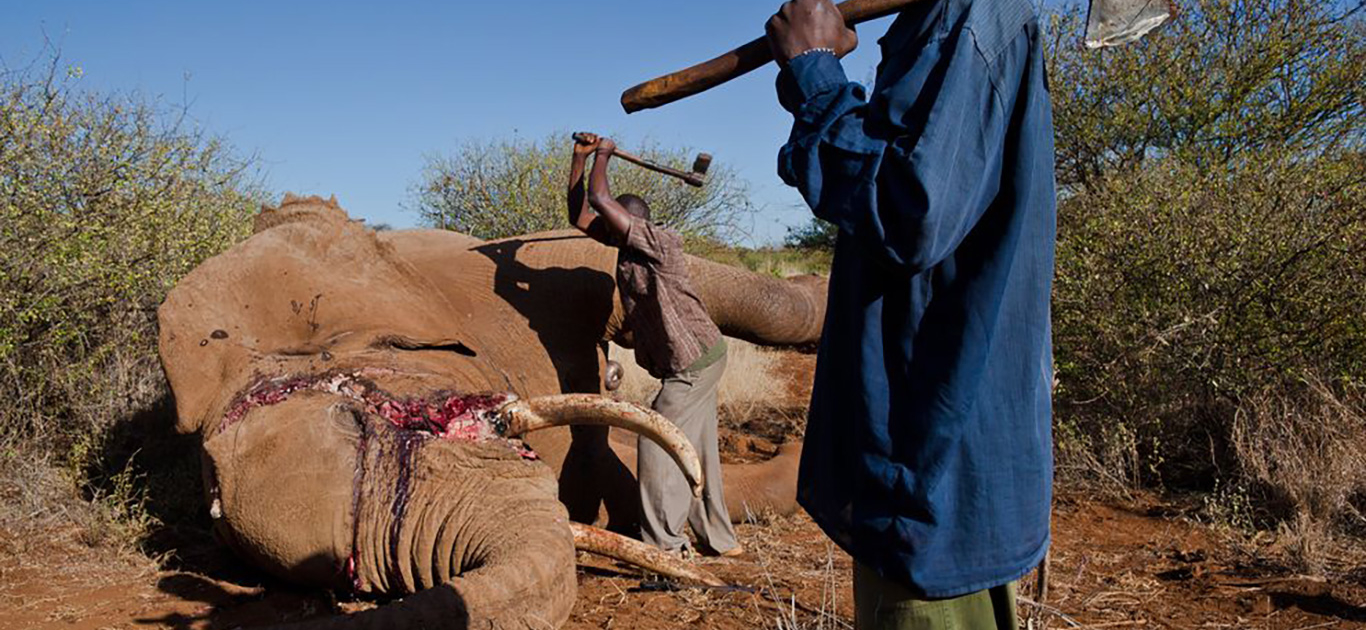 Elephant poaching increasing across Africa 1