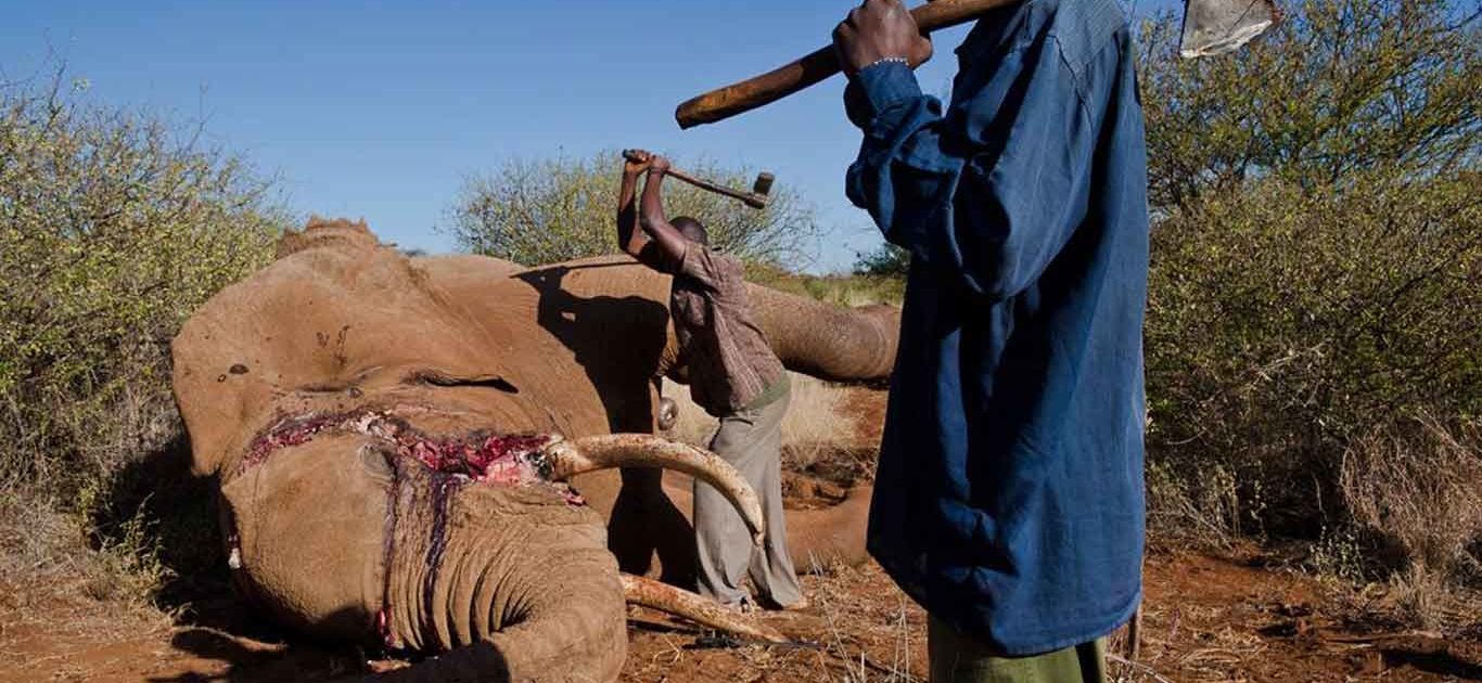 Hypocrisy hails as the EU completely misses the boat on elephant protection 5