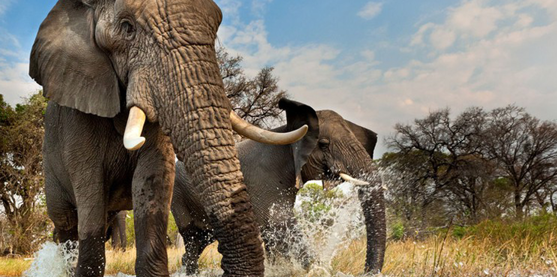 Botswana's safari tourism industry to fight elephant poaching 1