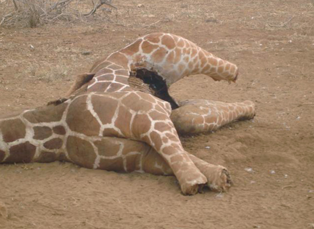 WICKED SNARES kill giraffes for food and tourist trinkets! 3