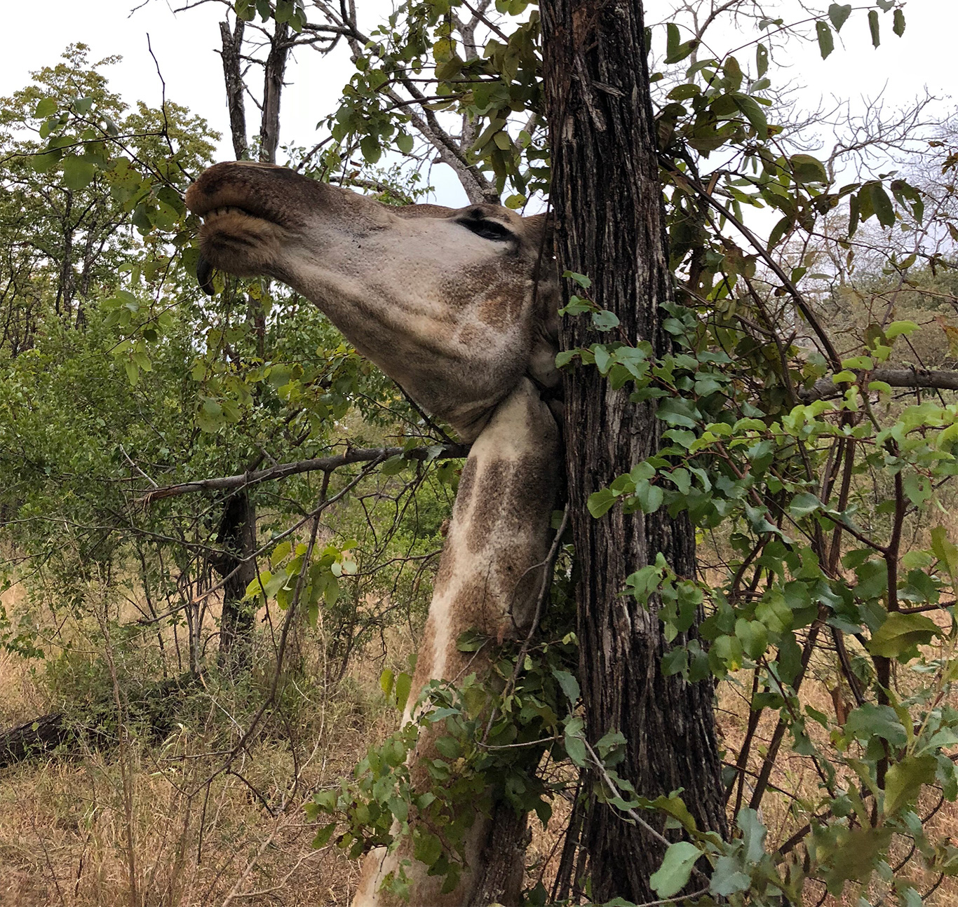 WICKED SNARES kill giraffes for food and tourist trinkets! 2