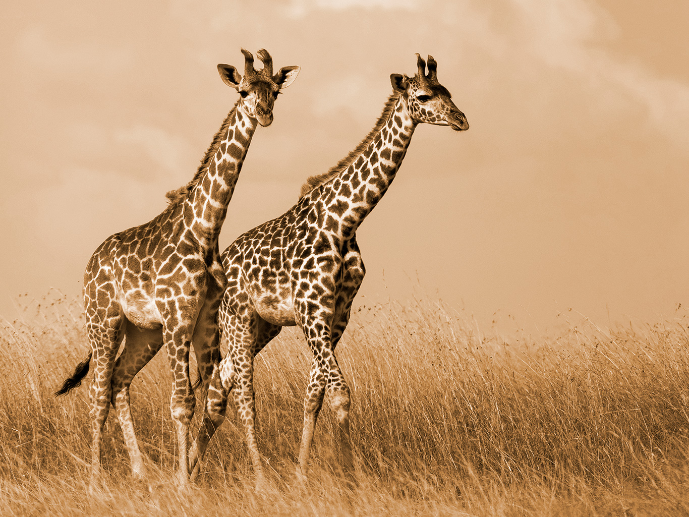 WICKED SNARES kill giraffes for food and tourist trinkets! 5