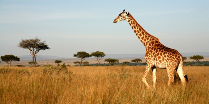 Giraffe Threatened Species