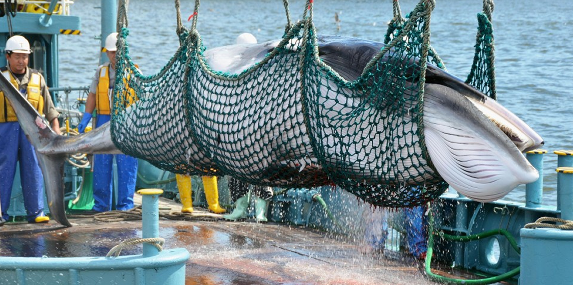 Japan to defy the world-wide whaling ban and start killing whales 1
