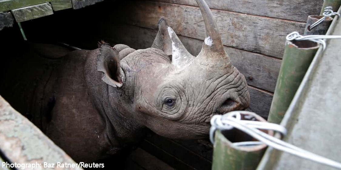 Tragic end to botched rhino relocation 1