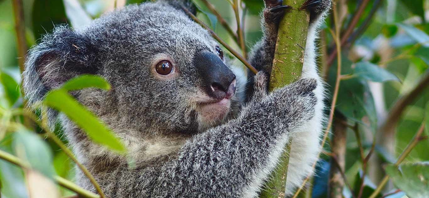 Koalas Could Be Extinct By 2050: Why This Loveable Species Is Gripped By Emergency 1