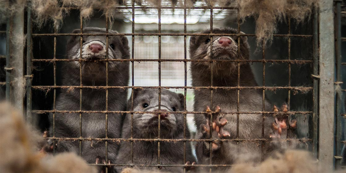 Terrible Cruelty Revealed at French Mink Farm 1