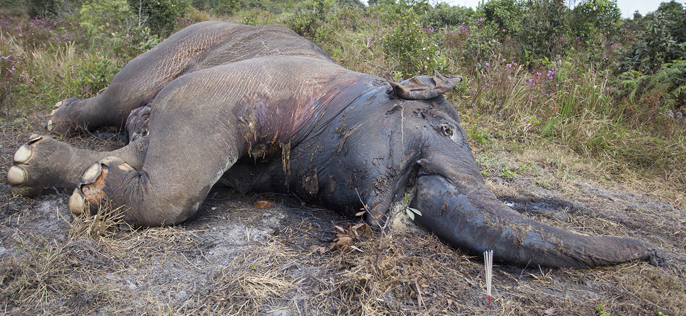 Botswana elephants drop like flies in a mysterious mass die-off, yet government drags its heels 5