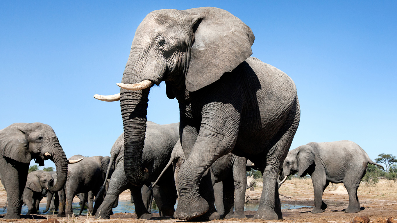 Botswana elephants drop like flies in a mysterious mass die-off, yet government drags its heels 3