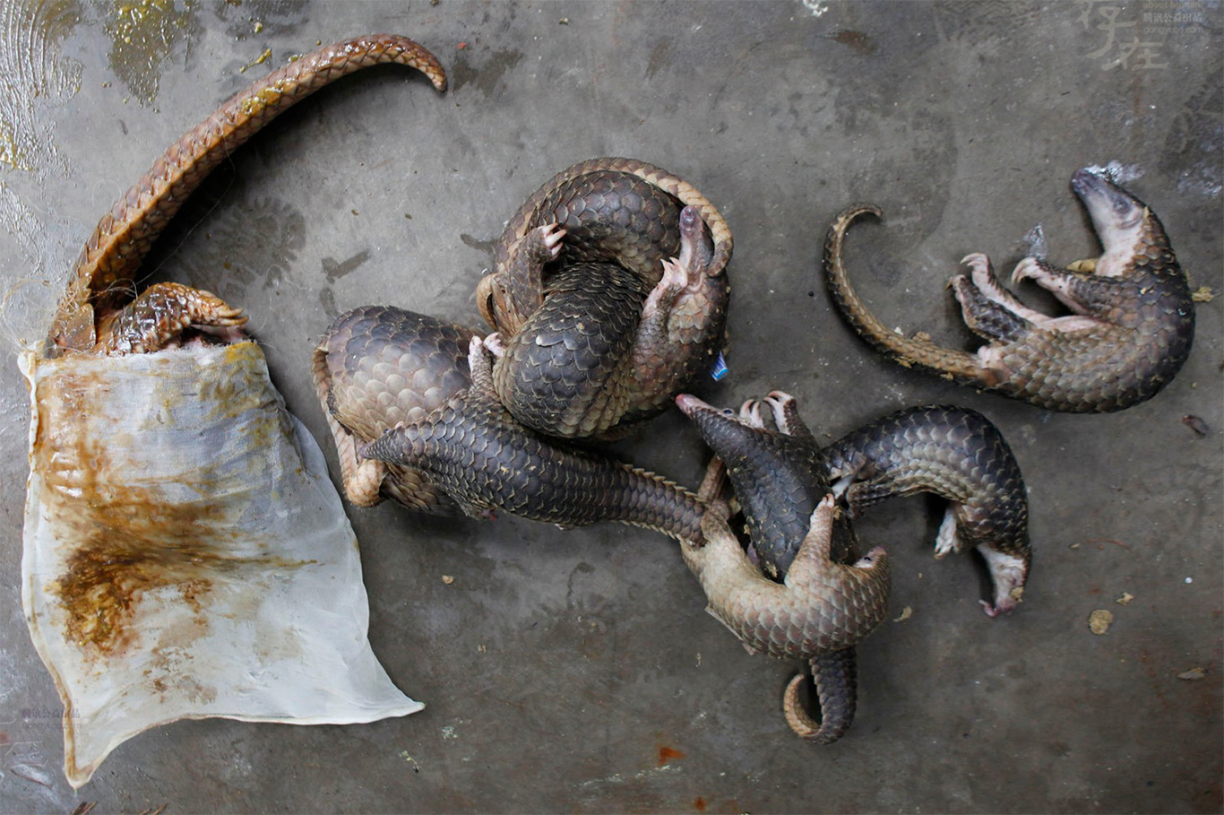 Pangolin purgatory! Chopped, diced and eaten to extinction! 1