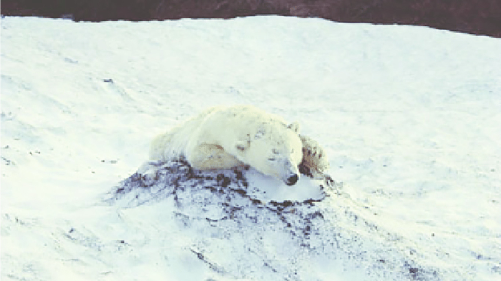 TICKING TIME BOMB for polar bears (and their babies) in Arctic National Wildlife Refuge! 3