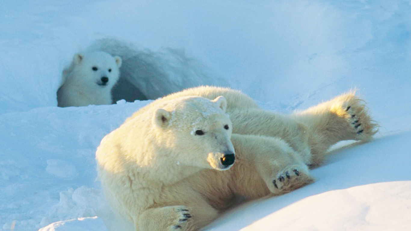TICKING TIME BOMB for polar bears (and their babies) in Arctic National Wildlife Refuge! 1
