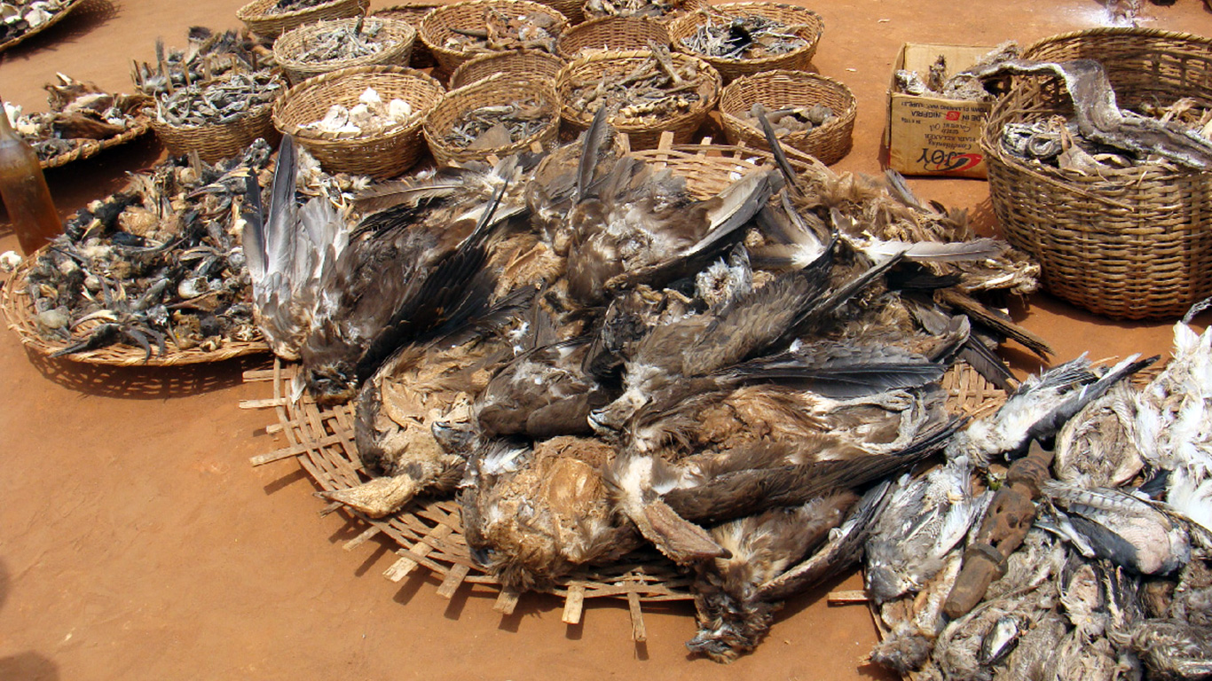 Vultures are being poisoned into oblivion. Unless this is stopped, more and worse pandemics are a certainty! 1