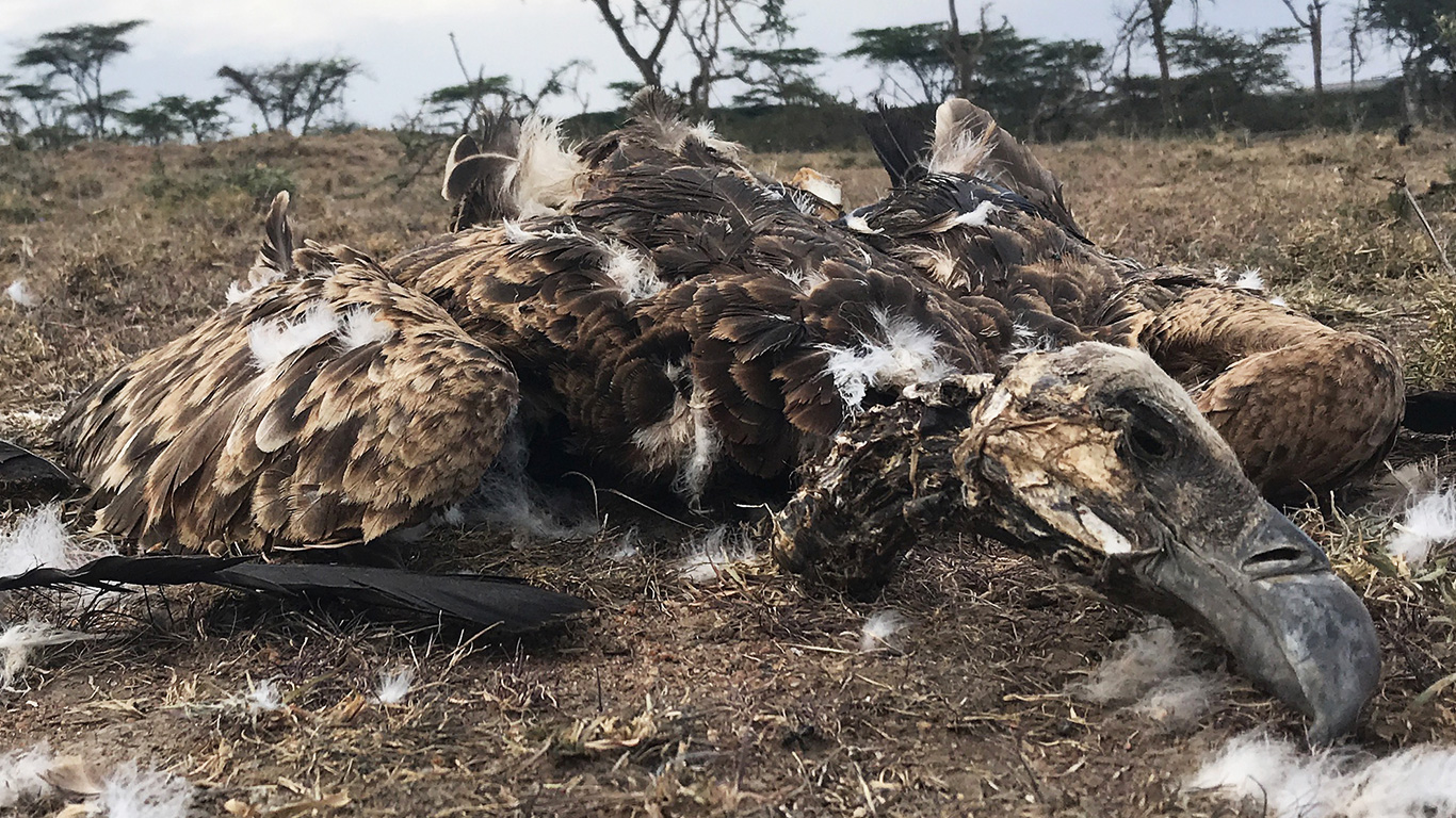 Vultures are being poisoned into oblivion. Unless this is stopped, more and worse pandemics are a certainty! 3