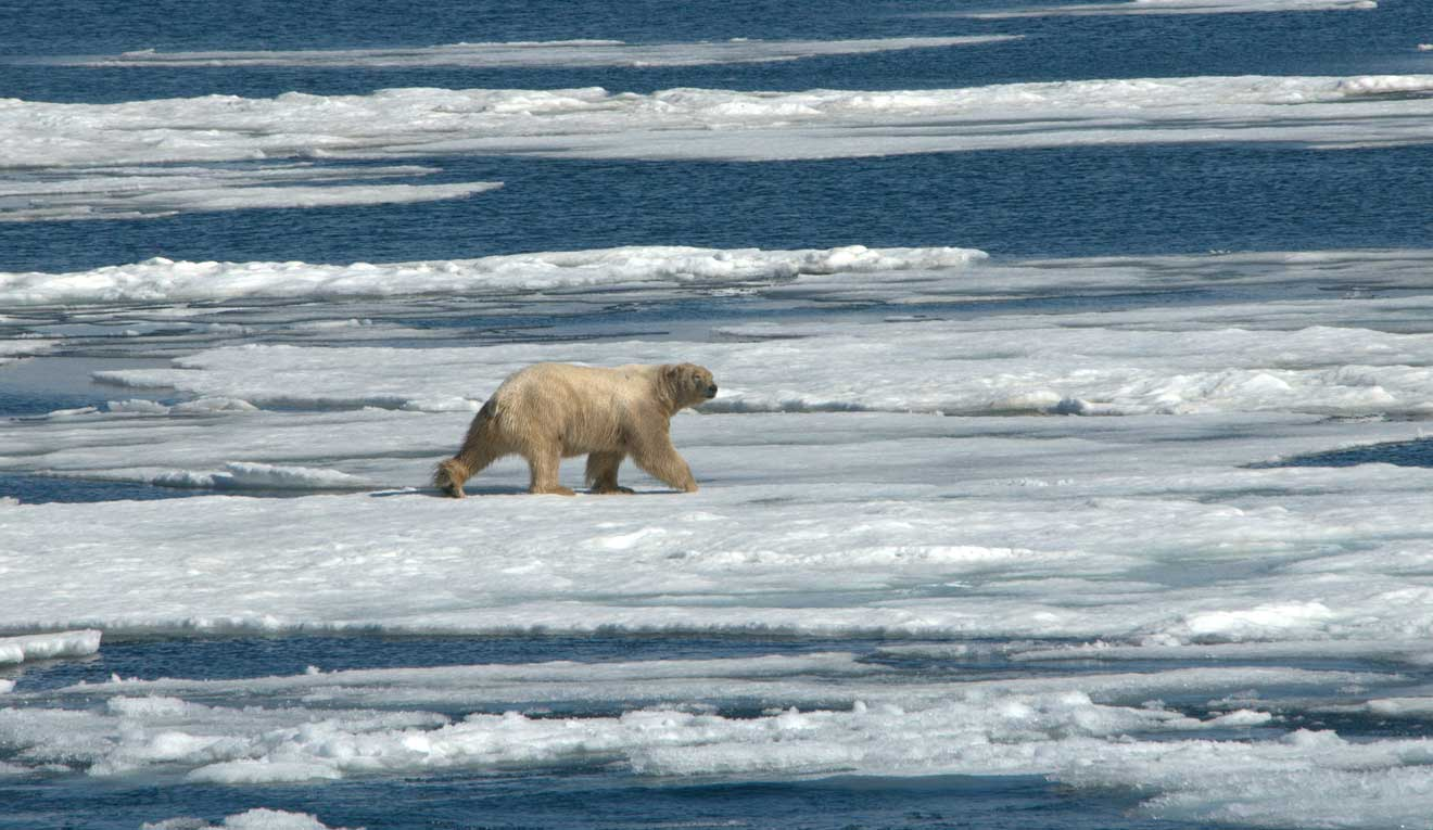 Skating on thin ice: Climate change could see polar bears extinct by 2100 3